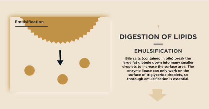 Emulsification in the Digestion of Lipids