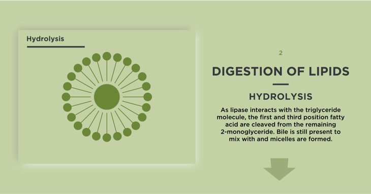 Hydrolysis in Digestion of Lipids