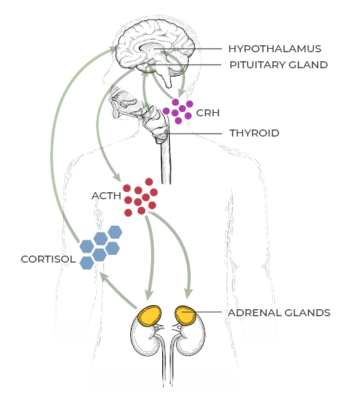A diagram of the HPA Axis - a healthy stress response.